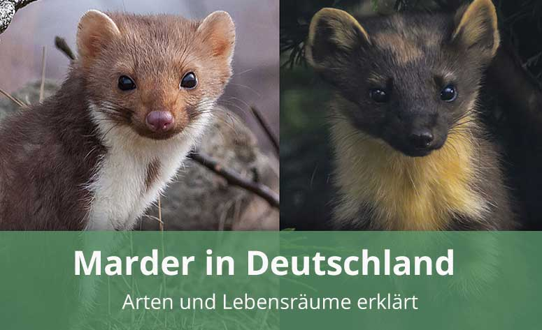 Marderarten in Deutschland