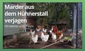 der Marder im Hühnerstall