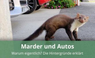 Warum gehen Marder an Autos?