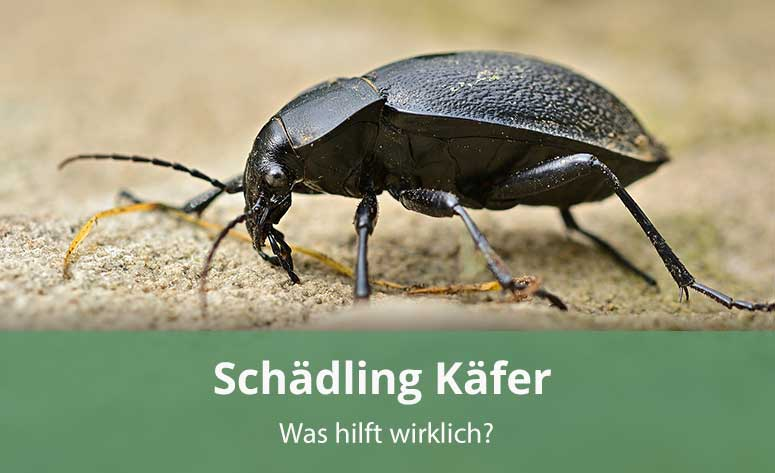 Schädling Käfer